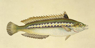 Trout Drawing - Rainbow Wrasse by E Donovan and FC and J Rivington