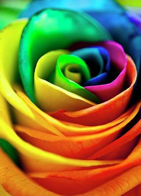Rainbow Rose Photograph - Rainbowed Rose by Ian Gowland