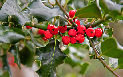 Photograph - Raindrop Falling Off Holly Berries And Leaves by Valerie Garner