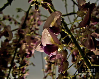 Shadow Photograph - Raindrop Wisteria by CML Brown