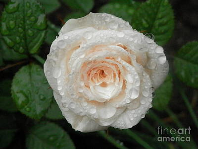 Photograph - Raindrops And Roses by Margaret McDermott