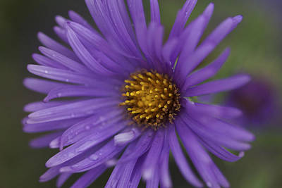 Photograph - Raindrops On Asters by Jane Eleanor Nicholas