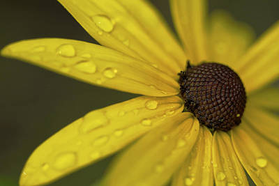 Photograph - Raindrops On Daisy by Jane Eleanor Nicholas