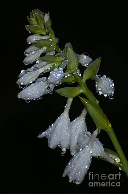 Photograph - Raindrops On Hosta by Bianca Nadeau