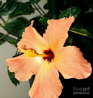 Peach-colored Photograph - Raindrops On My Hibiscus by Marsha Heiken
