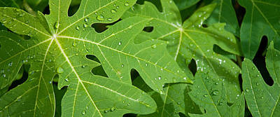 Raindrops On Papaya Tree Leaves, La Art Print by Panoramic Images