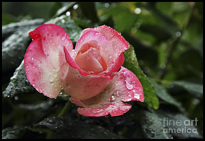 Photograph - Raindrops On Pink Rose by Gabriele Pomykaj