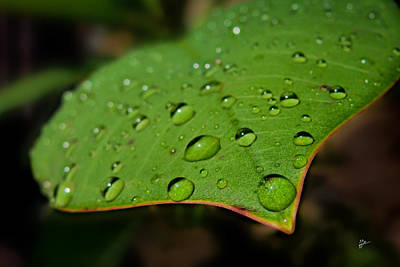 Photograph - Raindrops On Plumeria Leaf by TK Goforth