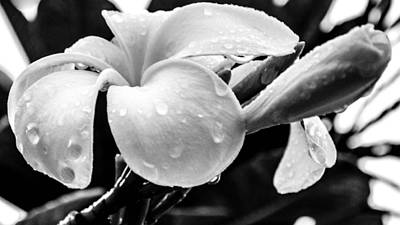 Photograph - Raindrops On Plumeria by Lisa Cortez