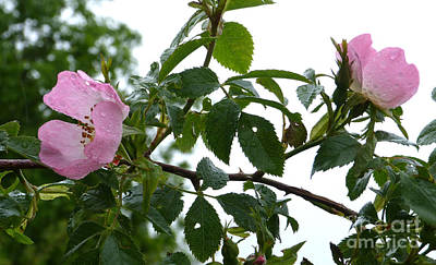 Photograph - Raindrops On Roses by Phil Banks