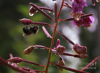 Photograph - Rained Soaked Brandywine Bee by Amanda Holmes Tzafrir