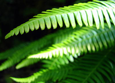 Photograph - Rainforest Fern by Ramona Johnston