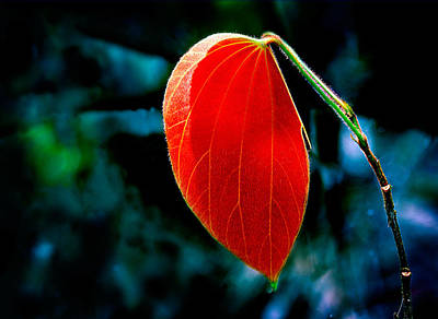 Photograph - Rainforest Red by Julian Cook