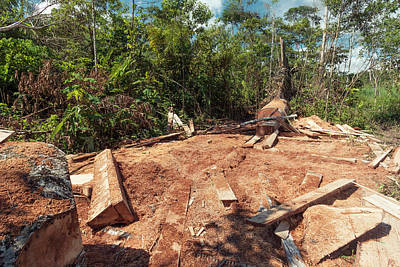Deforestation Photograph - Rainforest Tree Cut For Planks by Dr Morley Read