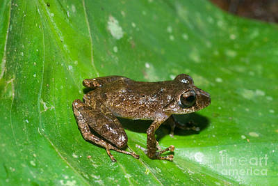 Eleutherodactylus Photograph - Rainfrog by William H. Mullins