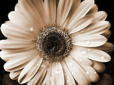 Raindrops On Gerber Daisy Sepia Art Print by Jennie Marie Schell