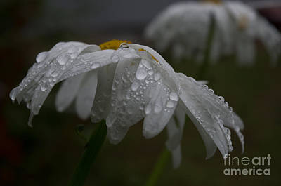 Photograph - Rainy Day Daisies by Adria Trail