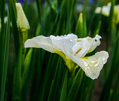 Photograph - Rainy Day Iris by Jordan Blackstone