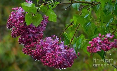 Photograph - Rainy Day Lilacs by Julia Hassett