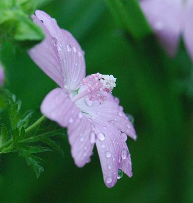 Photograph - Rainy Day Mallow by Amy Porter