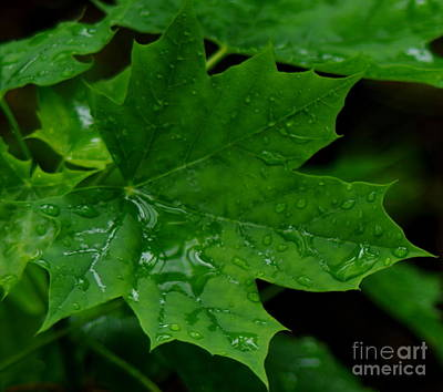 Beers On Tap - Rainy Day Maple Seedling by Kitrina Arbuckle