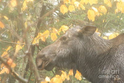 Staff Picks Judy Bernier Rights Managed Images - Rainy Day Moose Royalty-Free Image by Joseph Marquis