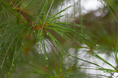 Photograph - Rainy Day Pines by Haren Images- Kriss Haren