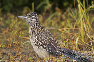 Photograph - Rainy Day Roadrunner by David Cutts
