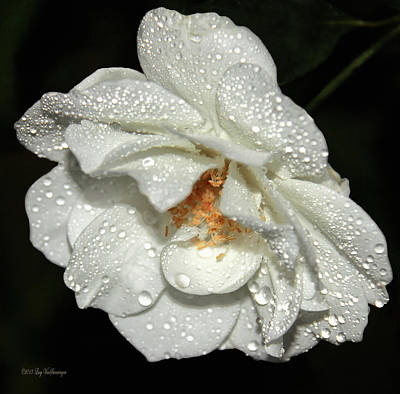 Photograph - Rainy Day Rose by Lucy VanSwearingen