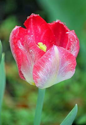 Rainy Day Series - Deep Pink And White Tulip IIi Original