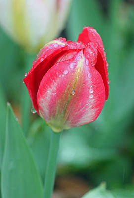 Rainy Day Series - Deep Pink And White Tulip Original