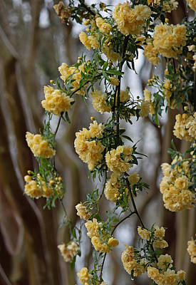 Rainy Day Series - Lady Banks Roses II Original