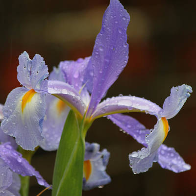 Rainy Day Series - Purple Iris IIi Original