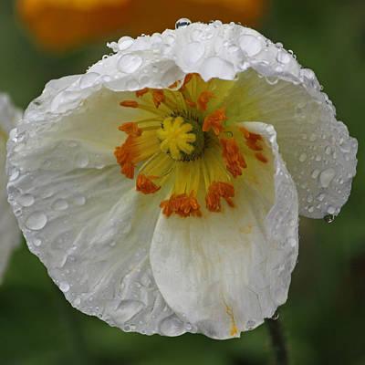 Rainy Day Series - White Poppy II Original