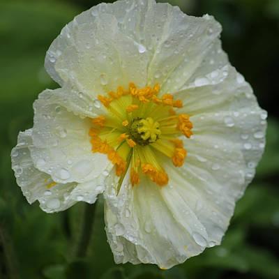 Rainy Day Series - White Poppy Original