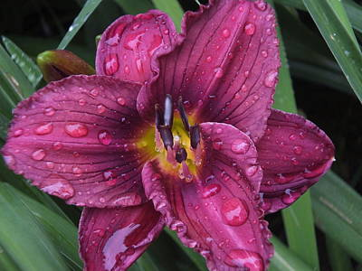 Photograph - Rainy Daylily by Gene Cyr