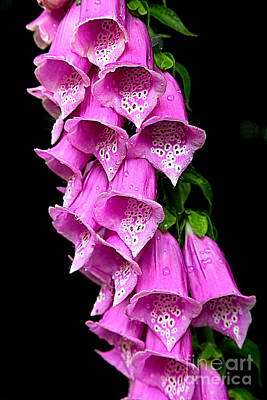 Foxglove Flowers Photograph - Rainy Forest Foxglove by Carol Groenen