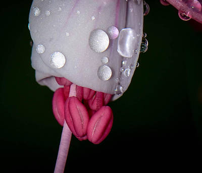 Photograph - Rainy Fuchsia by Amy Porter