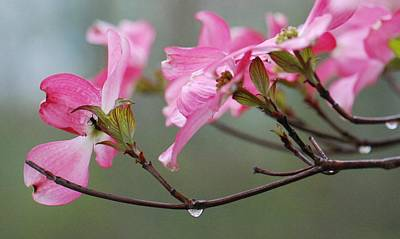 Photograph - Rainy Pink Dogwood by Amy Porter