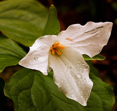 Photograph - Rainy Trillium by Haren Images- Kriss Haren