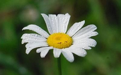 Photograph - Rainy White Daisy by Amy Porter