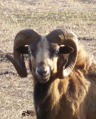 Photograph - Ram Close Up by Belinda Lee