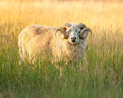 Photograph - Ram Curls by Joan Herwig