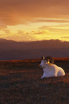 Ram Dall Sheep At Sunset In Front Art Print by Michael Jones