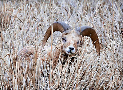 Photograph - Ram Hidden In The Brush by Athena Mckinzie