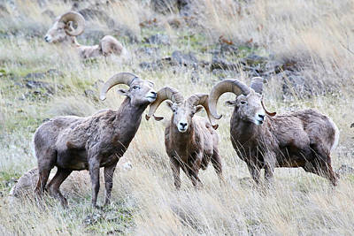 Photograph - Ram Pack by Athena Mckinzie