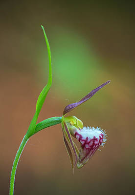 Photograph - Ram's Head Slipper Orchid by Jim Zablotny