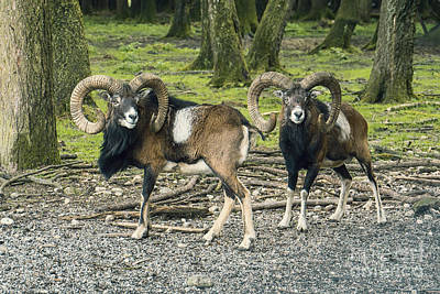 Photograph - Rams In The Deer Park by Jutta Maria Pusl