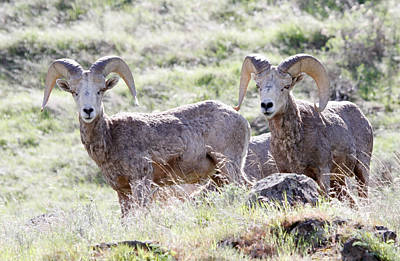 Photograph - Rams In The Wild by Athena Mckinzie