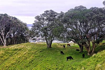 Range Cattle Above Auckland Original